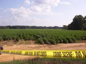 A body was found in an area cotton field